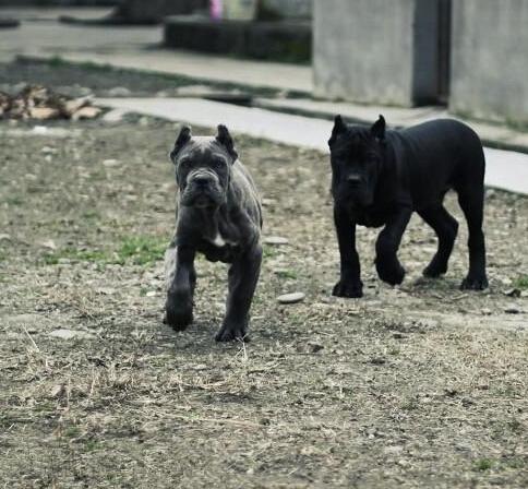 卡斯罗卖卡斯罗德宏狗场纯种卡斯罗常年出售1