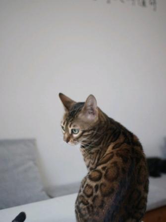 孟加拉豹猫活体纯种金豹银豹雪豹活物玫瑰空心花纹豹猫宠物猫4