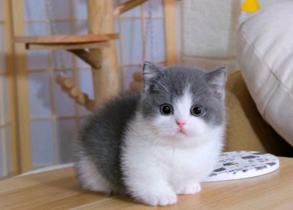 ▊官网推荐已认证▊矮脚猫出售▊CAF认证▊保障第一▊