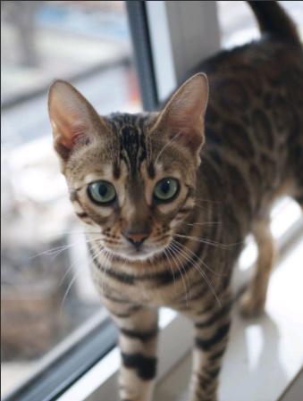 孟加拉豹猫活体纯种金豹银豹雪豹活物玫瑰空心花纹豹猫宠物猫1