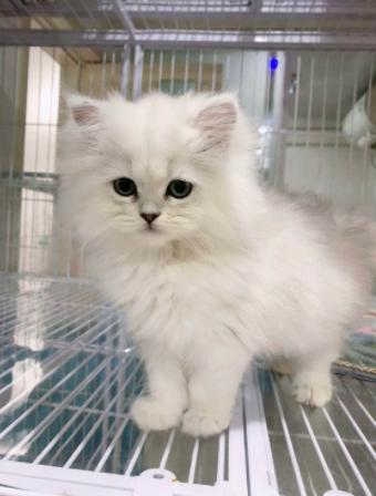 ▊官网推荐已认证▊金吉拉猫出售▊CAF认证▊售后保障