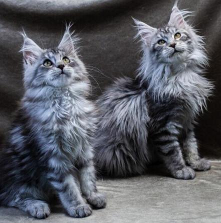 赛级缅因猫 官方推荐猫舍