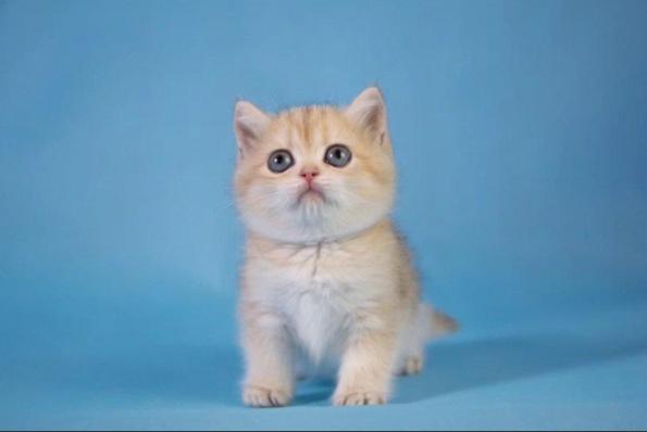 赛级金渐层 英国短毛猫 英短蓝猫 金渐层 银渐层