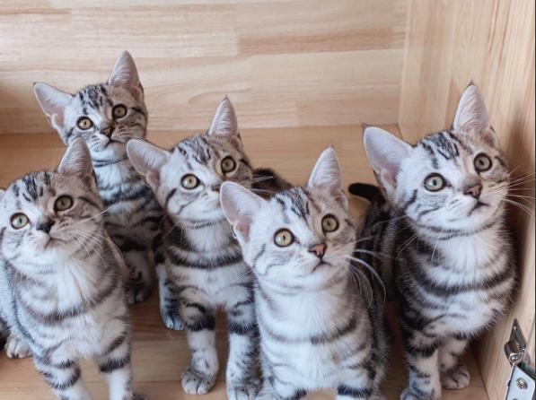 赛级美国短毛猫美短起司加白猫活体曼基康矮脚猫
