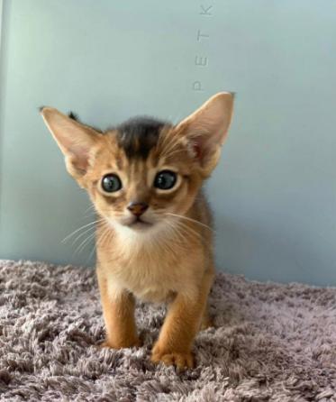 阿比西尼亚猫活物纯种红阿比幼猫东短宠物猫德文卷毛猫贵族猫