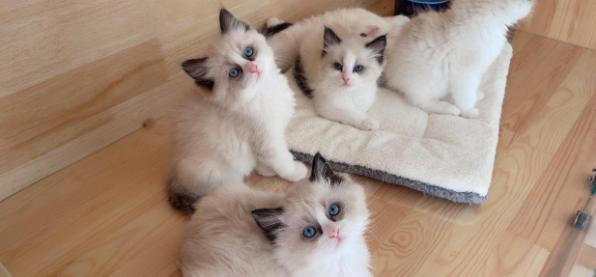 赛级海双布偶猫幼猫猫咪活物可爱小型纯种蓝双加菲猫咪宠物猫