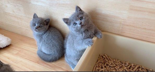 ▊官网推荐已认证▊纯种英短蓝猫幼崽▊CAF认证▊质量第一▊