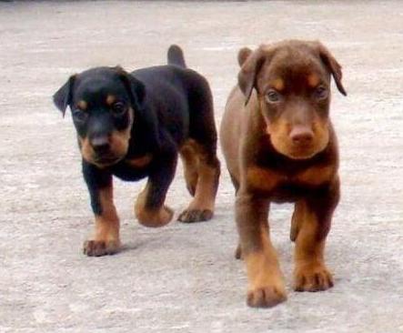 西双版纳买狗 犬场出售杜宾 昆明犬 马犬 罗威纳1