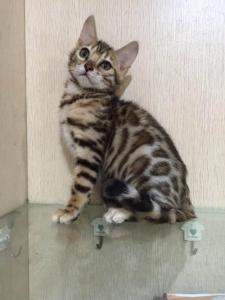 豹猫多少钱?广州哪里有卖纯种豹猫孟加拉豹猫?2