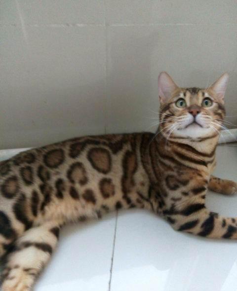豹猫多少钱?广州哪里有卖纯种豹猫孟加拉豹猫?