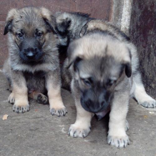 达州买昆明 养殖场出售昆明犬小狗狗