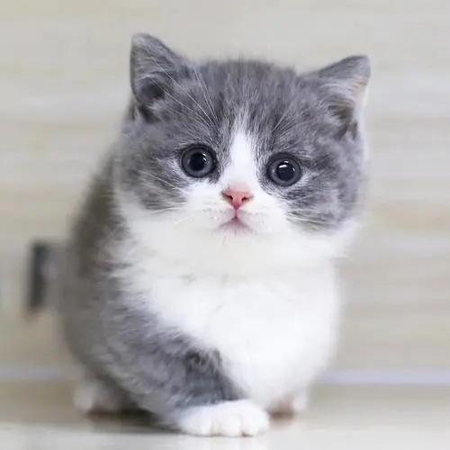 靠谱卖猫的东莞哪里有卖矮腿猫