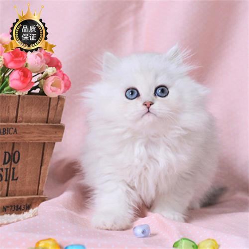 东莞哪里有卖金吉拉猫,这家是实体猫舍