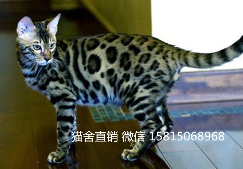 东莞哪里有卖豹猫。东莞哪里有大型宠物店卖猫的