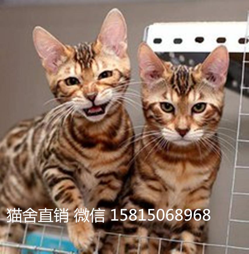 佛山顺德豹猫多少钱,纯种的佛山哪里有卖豹猫3