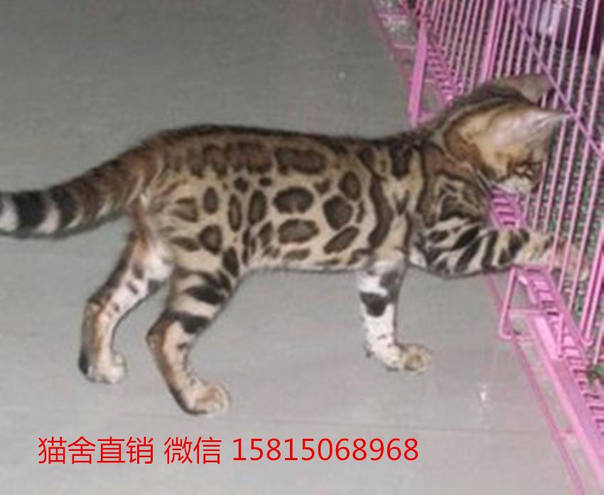 深圳哪里有卖豹猫,这家豹猫品相好,包三针5