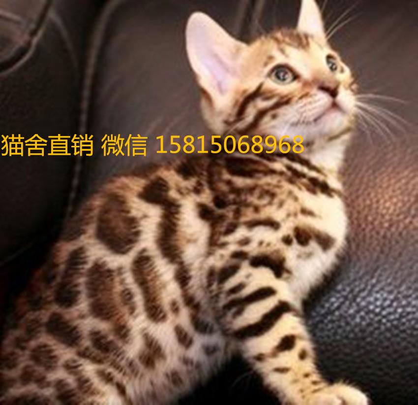 江门哪里有卖孟加拉豹猫,纯种豹猫多少钱一只呢