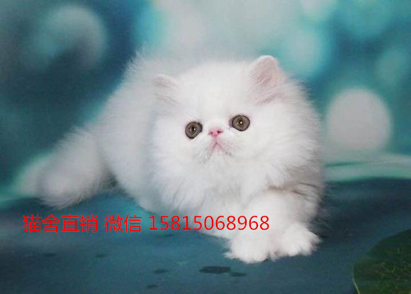 深圳哪里有卖加菲猫。深圳实体店出窝加菲猫