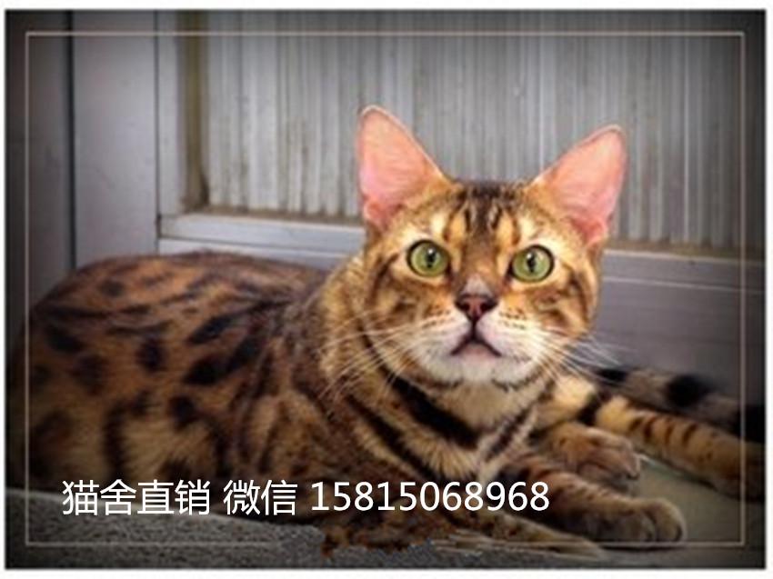 深圳哪里有卖豹猫,这家豹猫品相好,包三针3