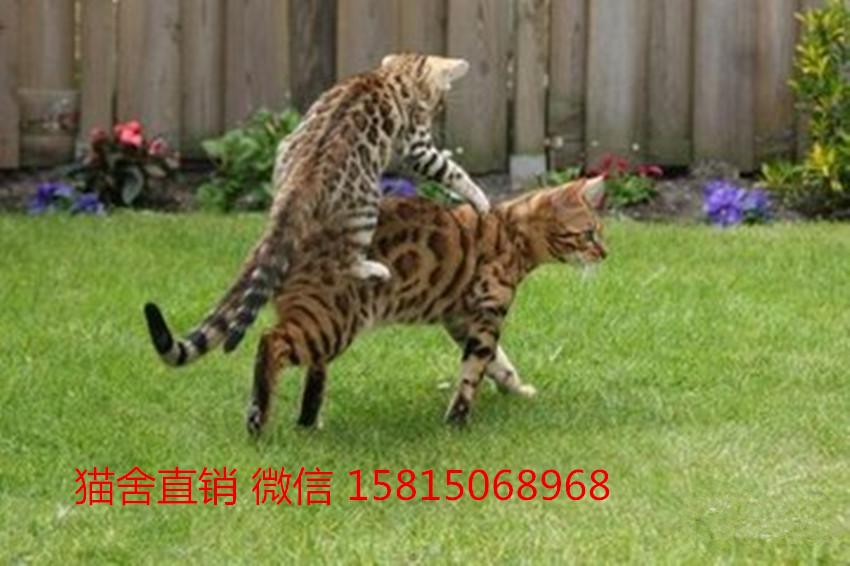 深圳哪里有卖豹猫,这家豹猫品相好,包三针2