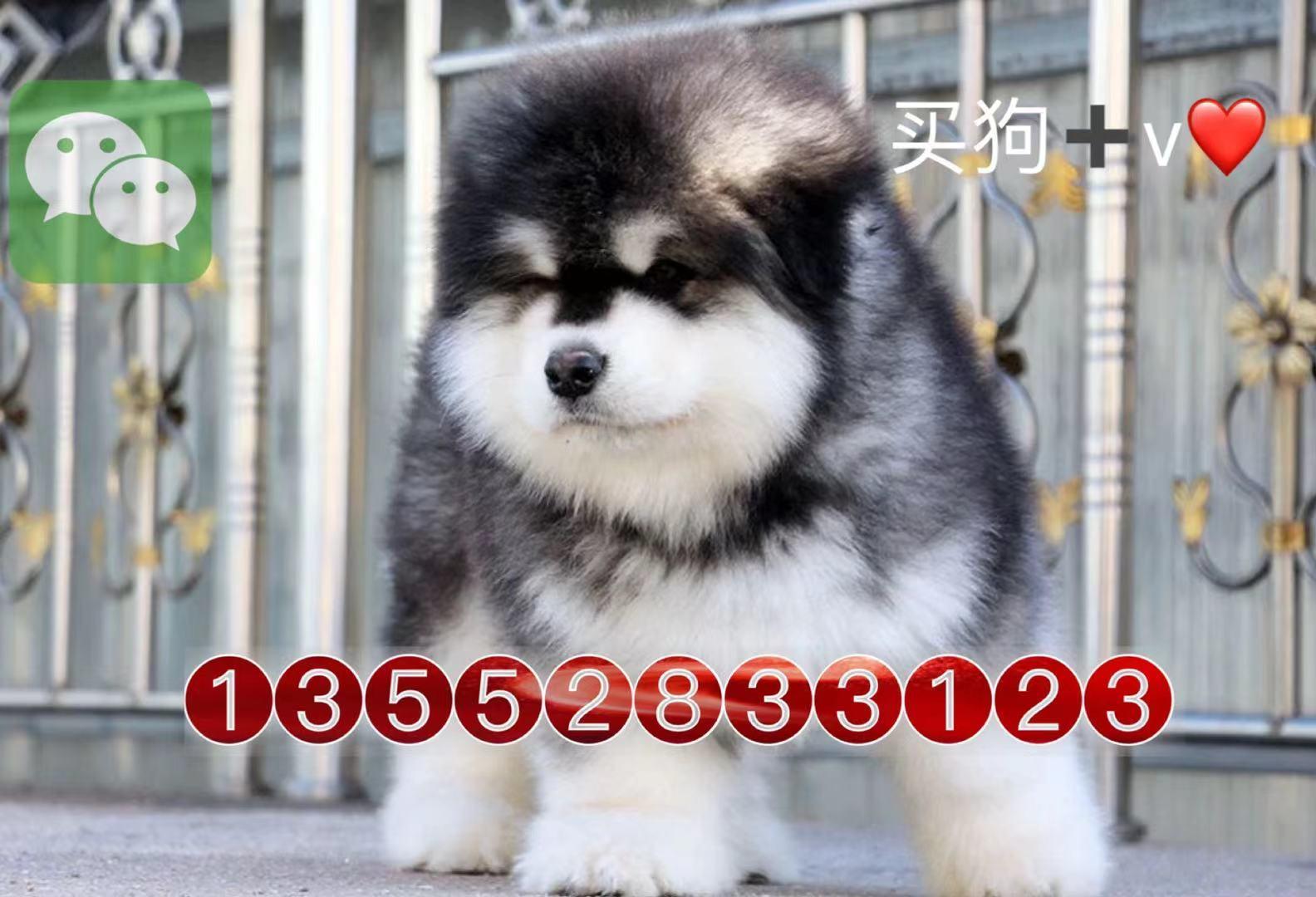 北京巨型阿拉斯加犬雪橇犬幼犬7
