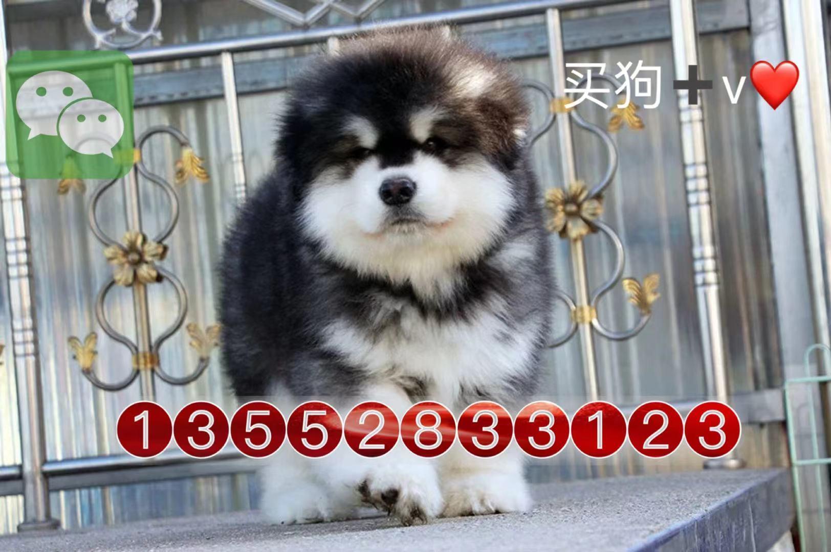 北京巨型阿拉斯加犬雪橇犬幼犬8