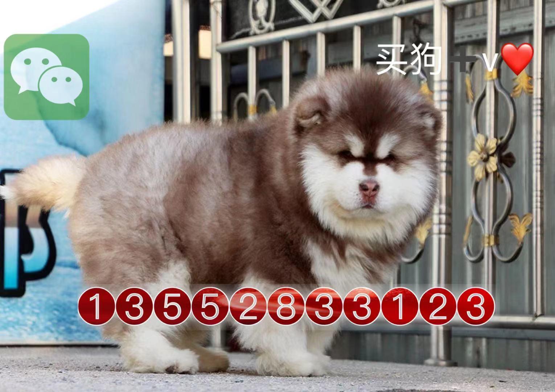 北京哪里卖巨型阿拉斯加犬纯种阿拉斯加犬雪橇犬9