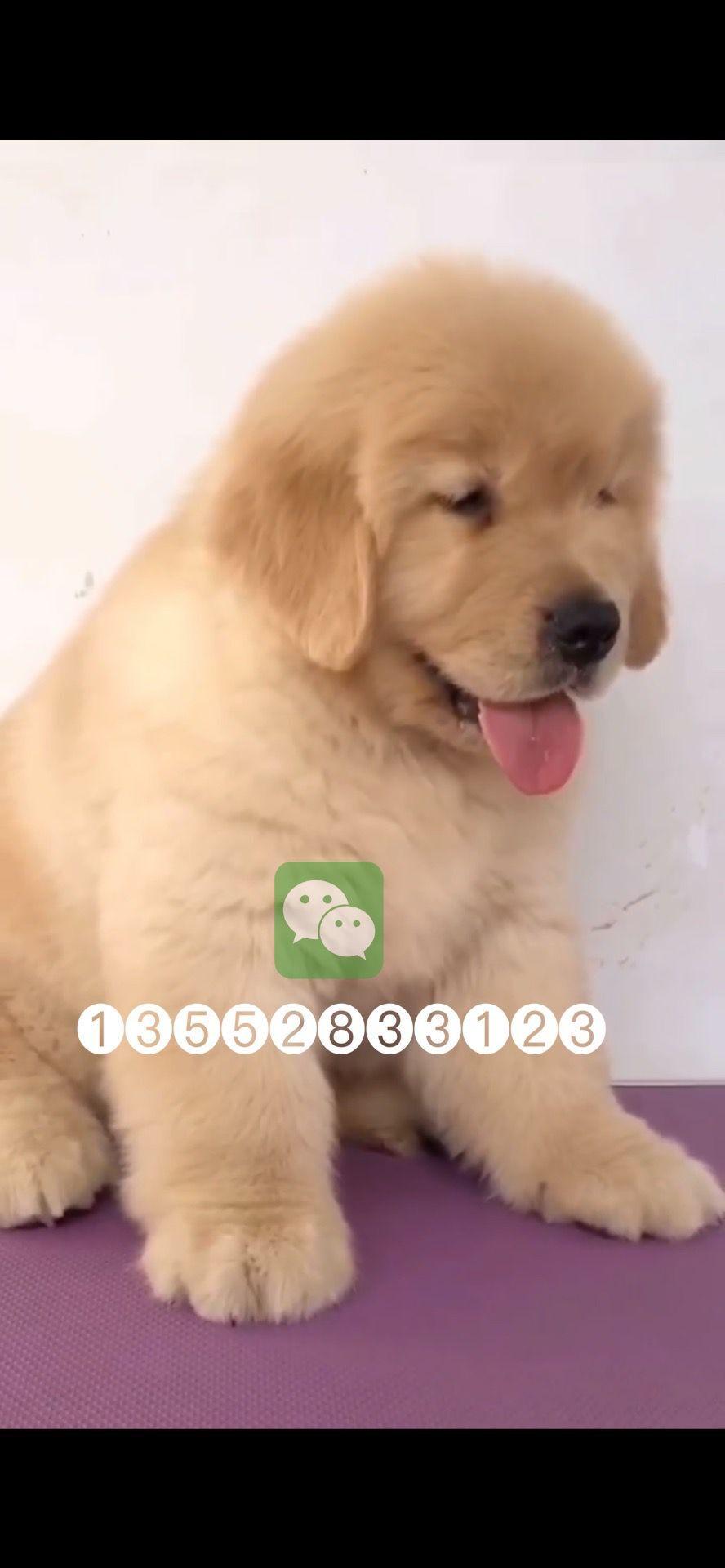 北京哪纯种金毛犬幼犬价格2