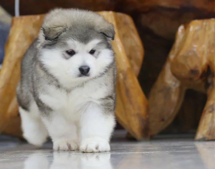 北京巨型阿拉斯加犬雪橇犬幼犬1