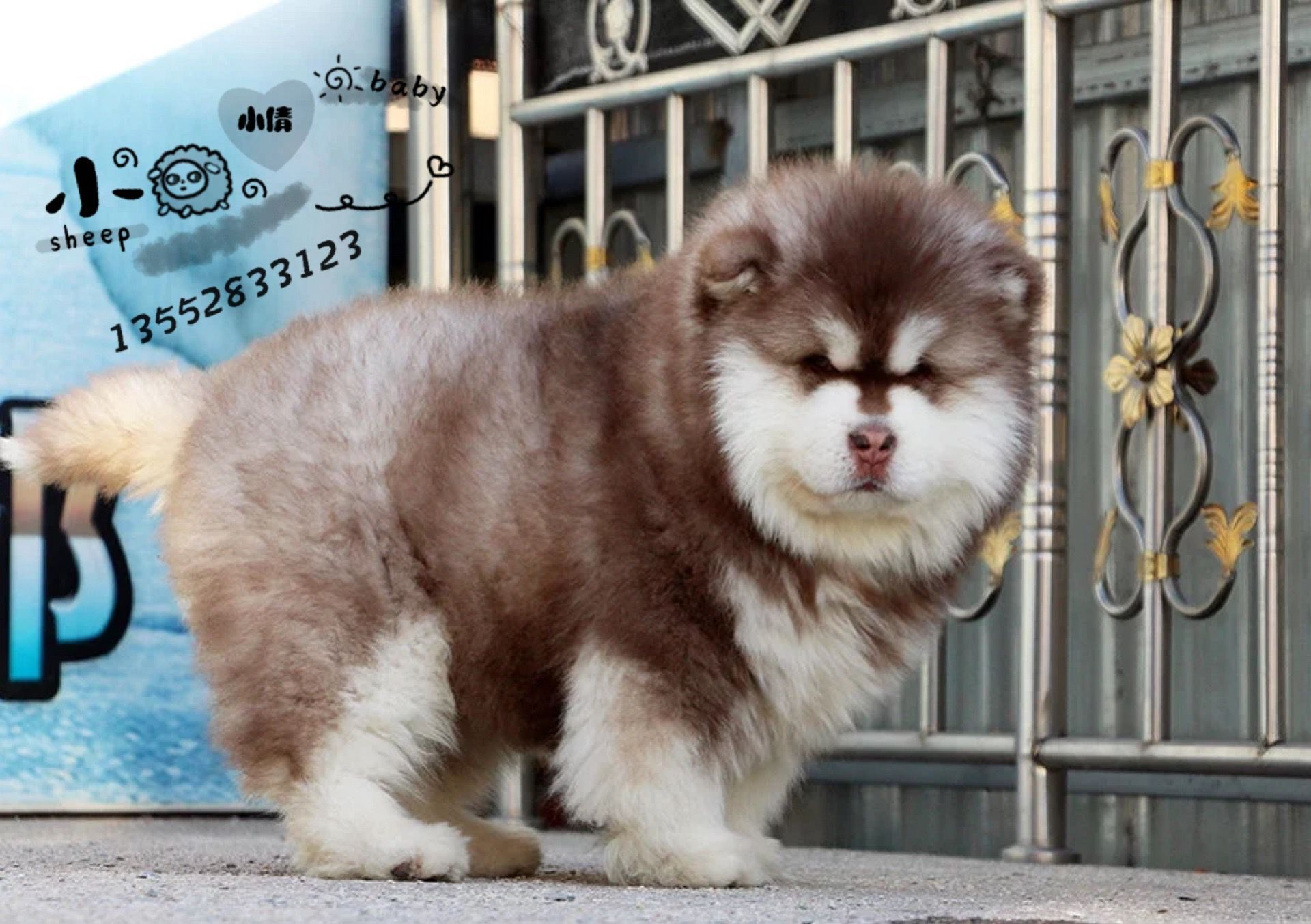 北京哪里卖巨型阿拉斯加犬纯种阿拉斯加犬雪橇犬6