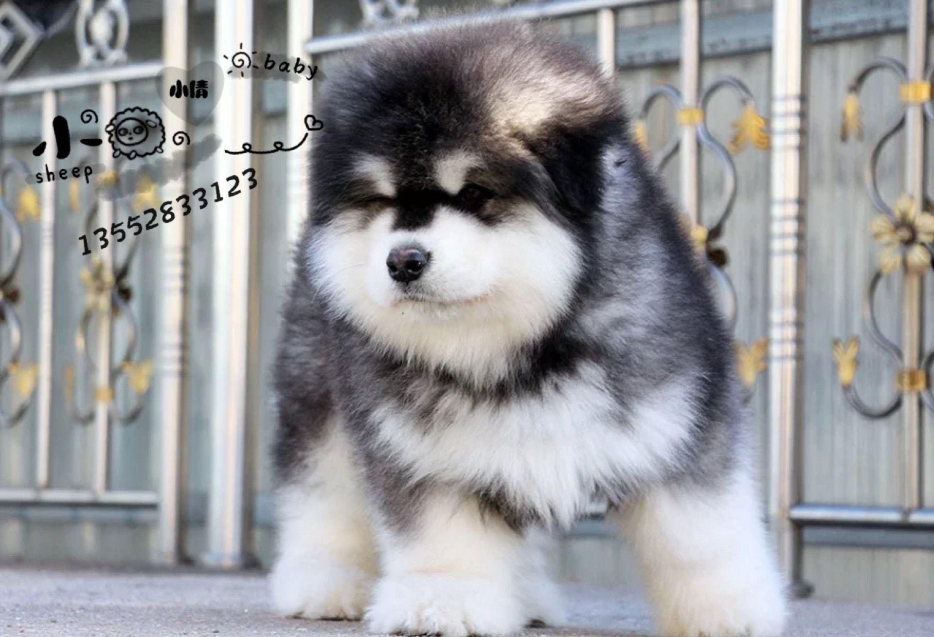 北京巨型阿拉斯加犬雪橇犬幼犬6