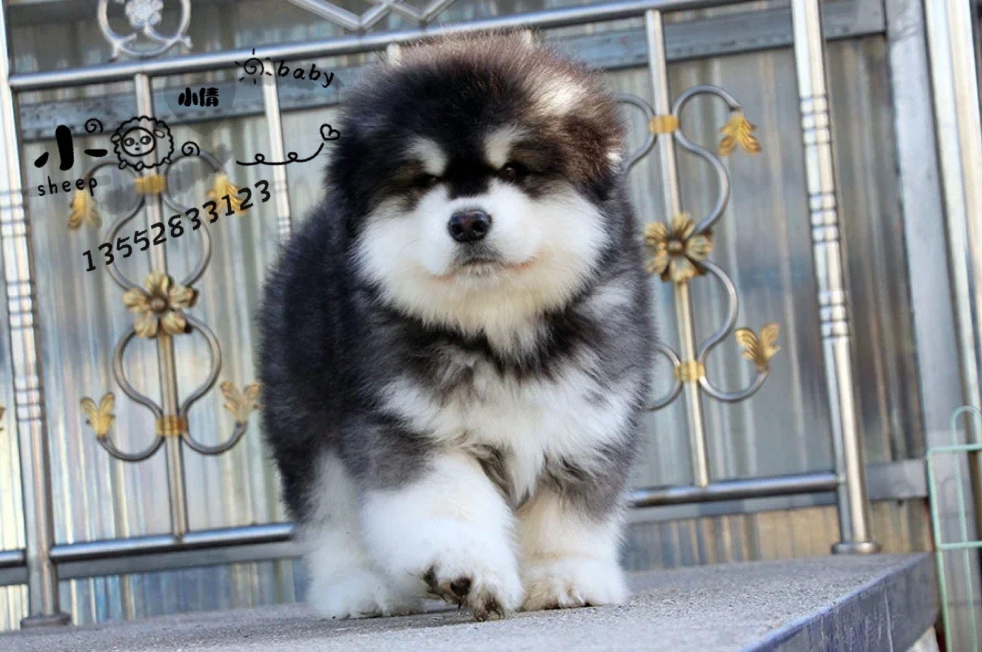 北京巨型阿拉斯加犬雪橇犬幼犬5