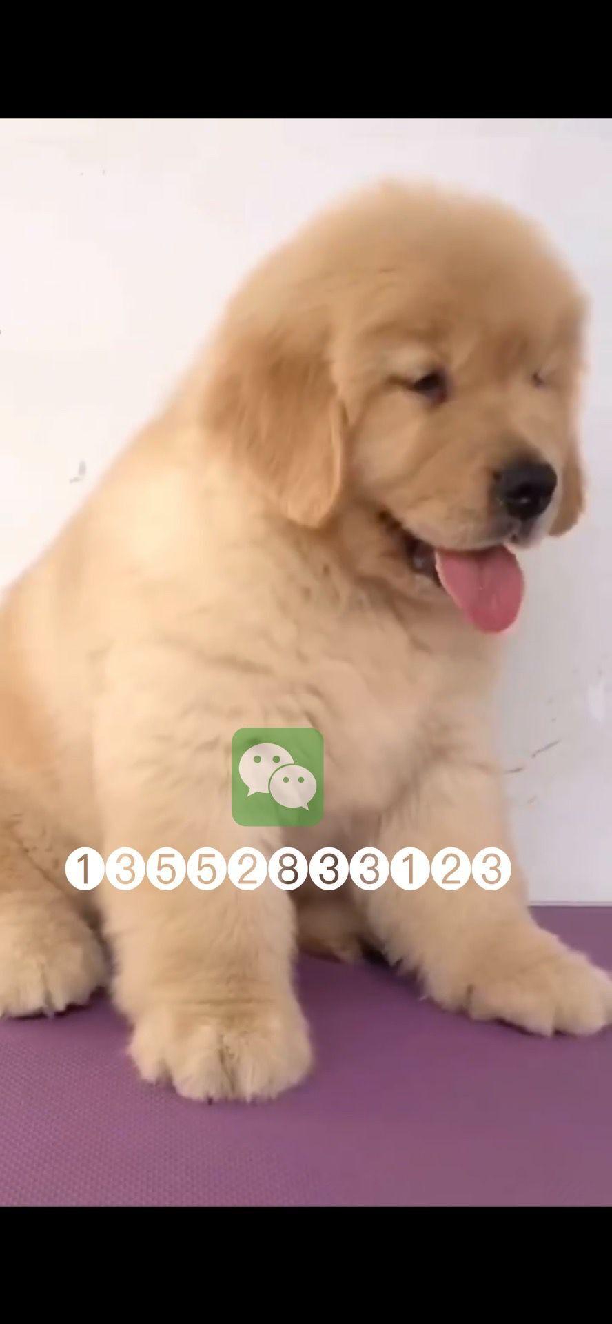 北京哪纯种金毛犬幼犬价格5