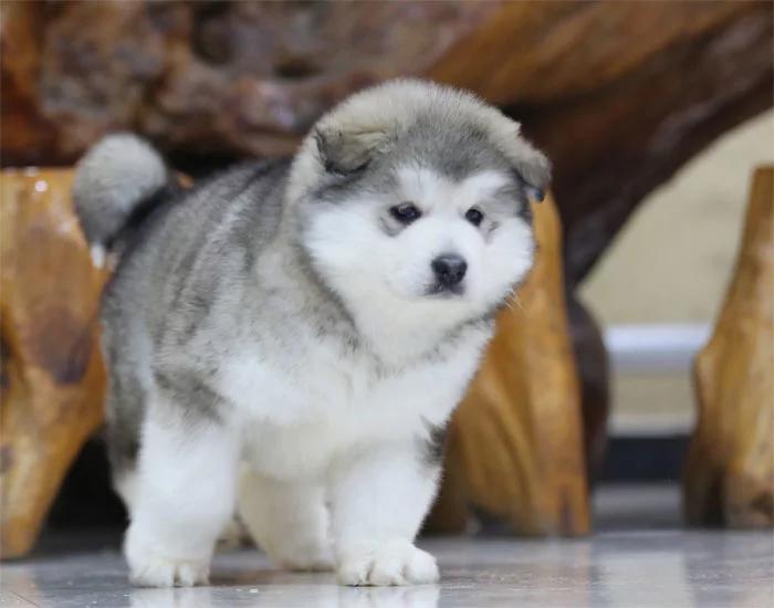 北京巨型阿拉斯加犬雪橇犬幼犬2