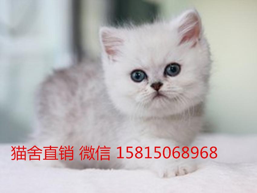 五星级猫舍,报价合理这家深圳哪里有卖银渐层猫