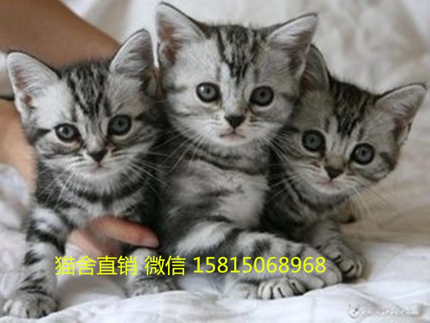 佛山哪里有卖美短猫 在哪里买美短猫比较可靠