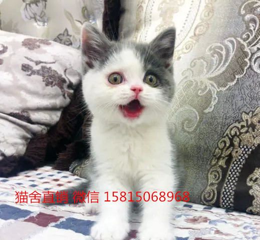 纯种蓝白猫多少钱能买到。广州哪里有英短蓝白猫