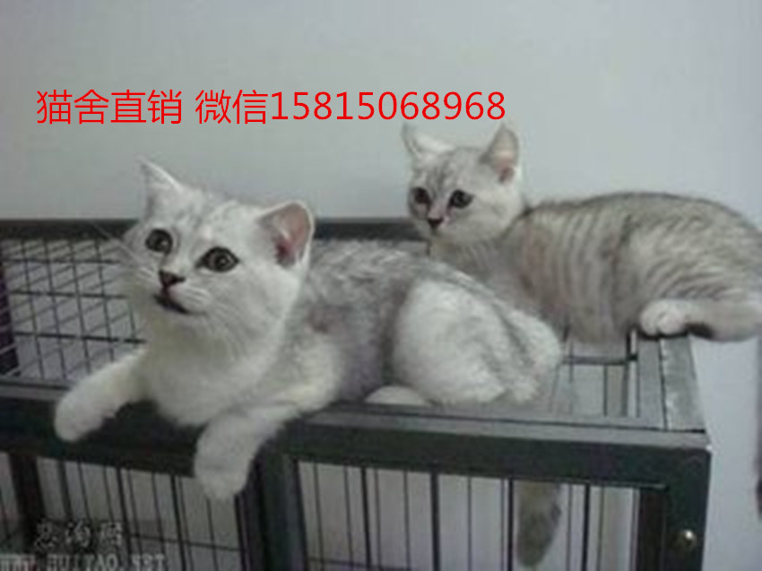 银渐层猫性格怎样,广州哪里有卖银渐层猫