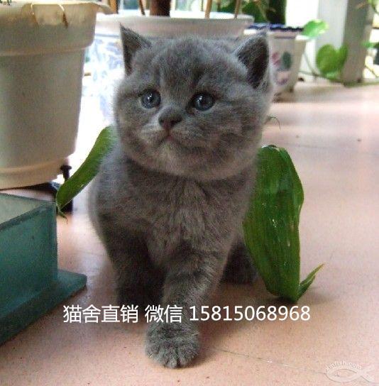 广州哪里有卖蓝猫实体猫舍,英短蓝猫多少钱