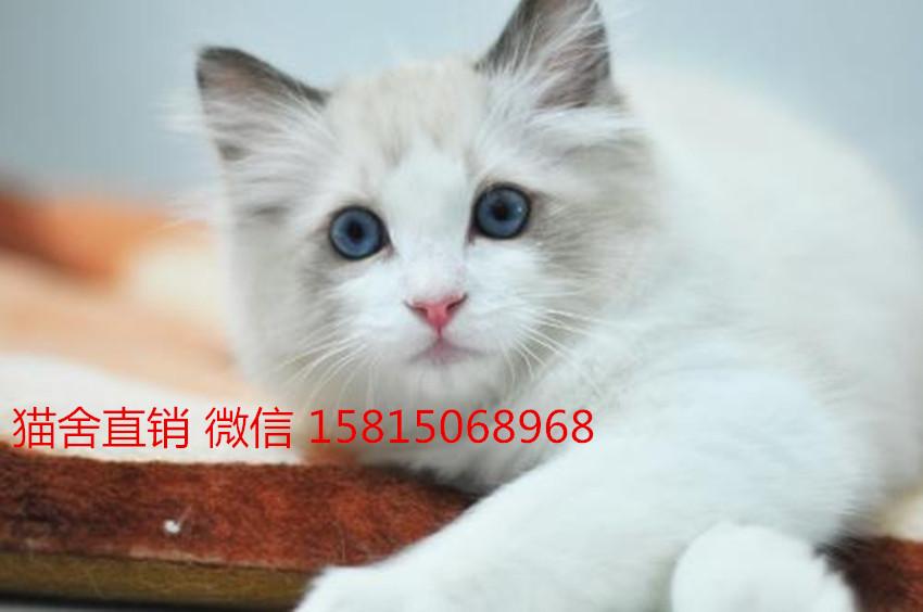 在广州想买布偶猫,请问多少钱广州哪里有卖布偶猫
