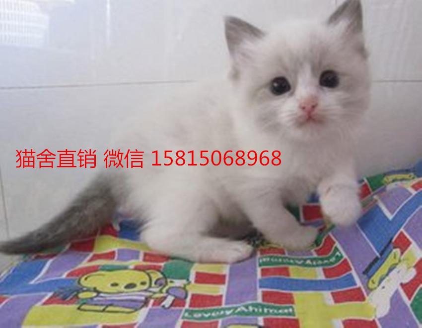 佛山买布偶猫比较好的地方佛山哪里有卖布偶猫