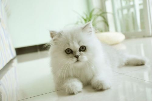 出售金吉拉 价格便宜佛山哪里有卖金吉拉猫