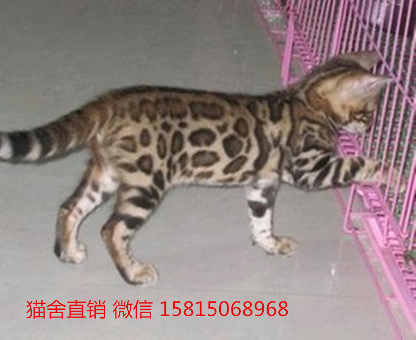 珠海哪里卖猫仔的健康纯种?珠海哪里有卖豹猫