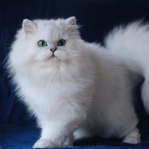 推荐正规的金吉拉猫舍佛山哪里有卖金吉拉