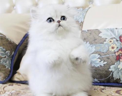 纯正金吉拉 大毛量东莞哪里有卖金吉拉猫