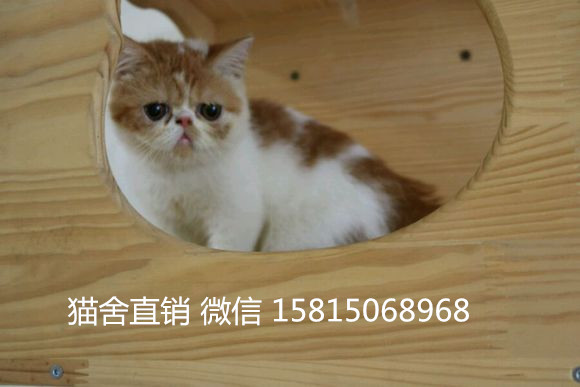去哪买猫最好广州哪里有卖加菲猫 一线加菲猫价格