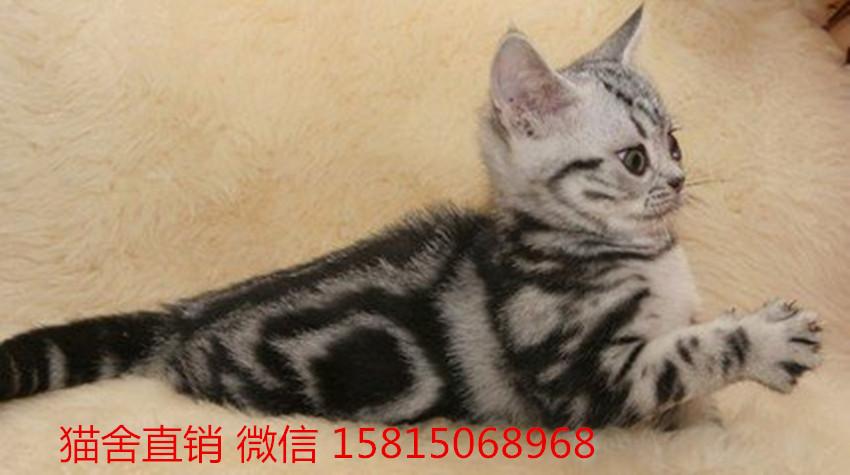 在广州地区内哪里有健康的小猫咪买广州哪里有卖美短猫
