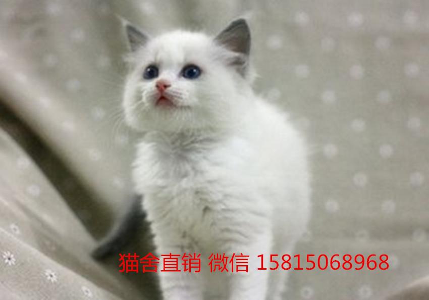 广州哪里有卖布偶猫,这家猫舍性价比极高