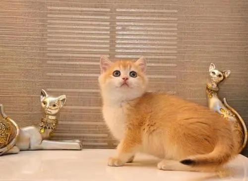 纯种金渐层多少钱一只价位,中山哪里有卖金渐层猫