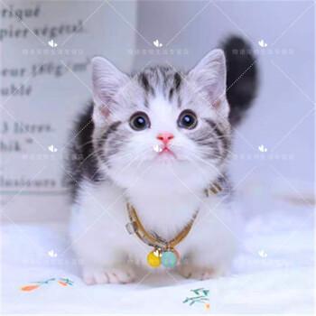 东莞哪里有卖矮腿猫,价格多少钱一只业内口碑猫舍